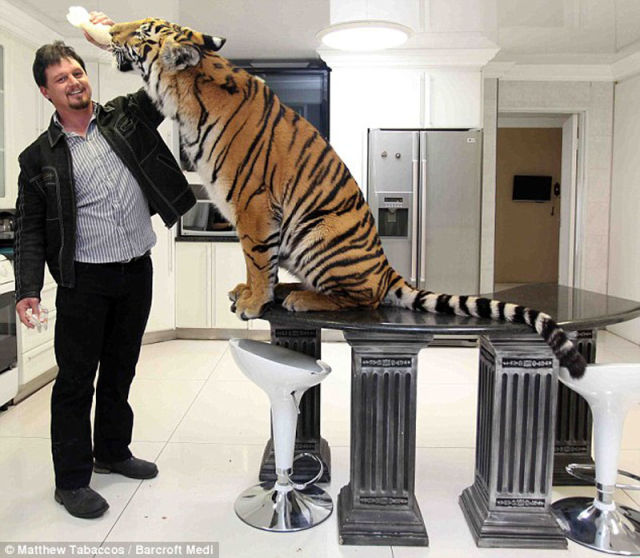 Meet A Pet Tiger From South Africa