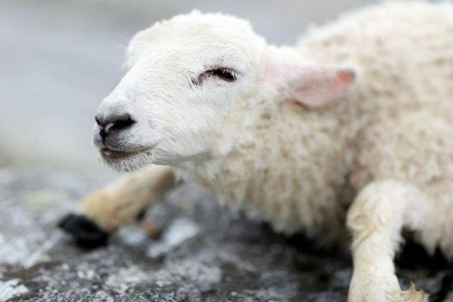 The Little Lamb Rescue