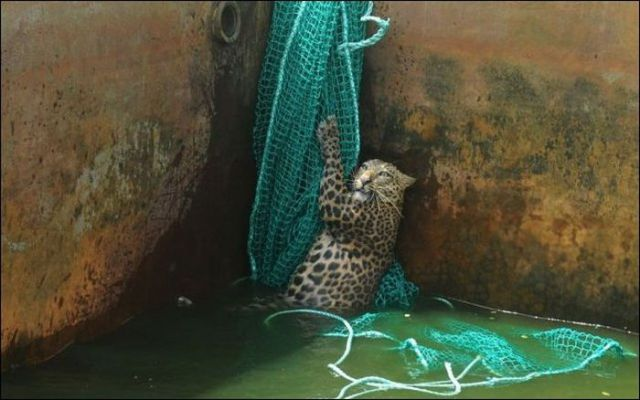 Leopard Luckily Saved from the Water Tank