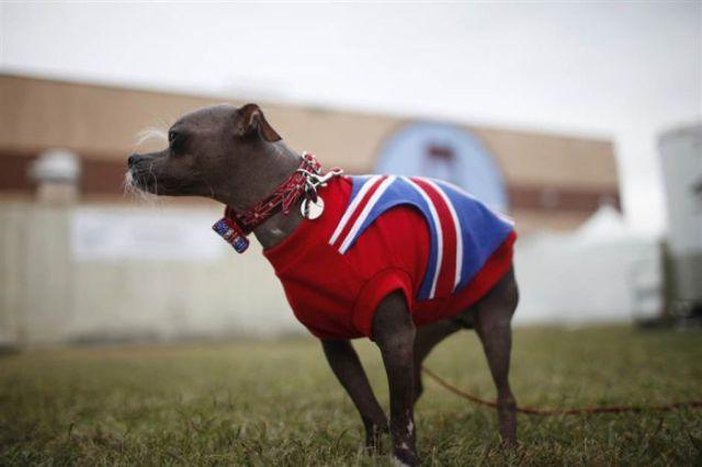 World's Ugliest Dog 2012 Contest