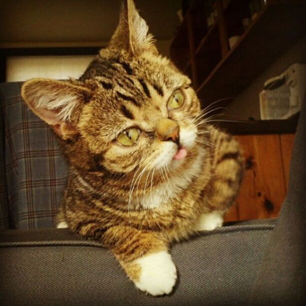 Lil Bub Is Definitely Not Your Average Pussycat