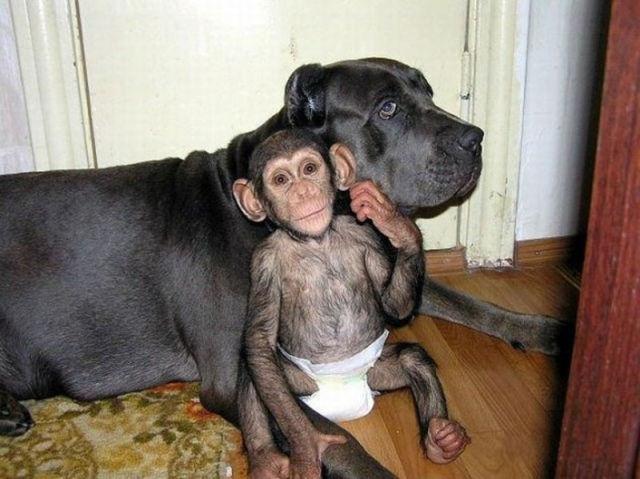 Huge Dog Adopts A Little Chimp
