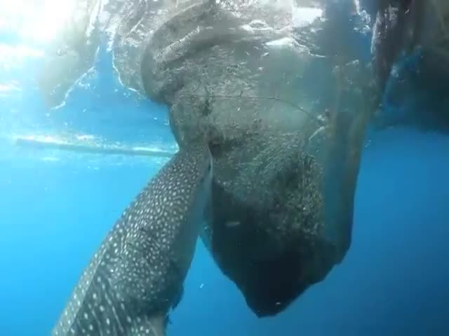 What a Clever Whale Shark