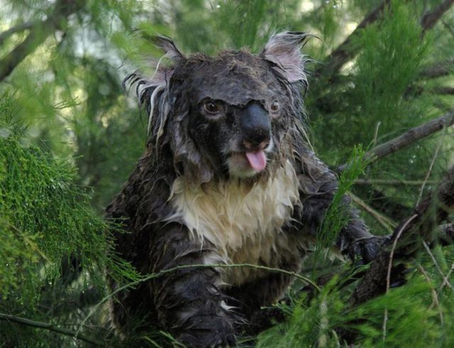 Have You Ever Seen a Wet Koala?