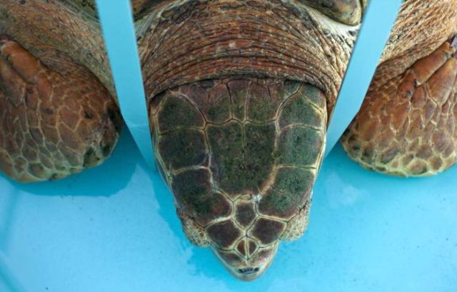 Sea Turtle Goes Home After Years in Hospital