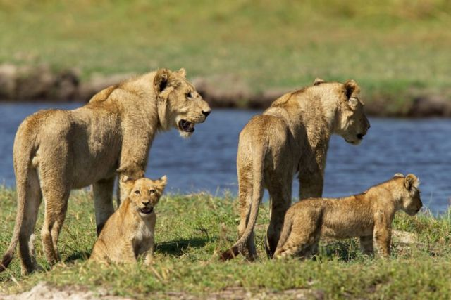 Outstanding Courage of a Mother Lion