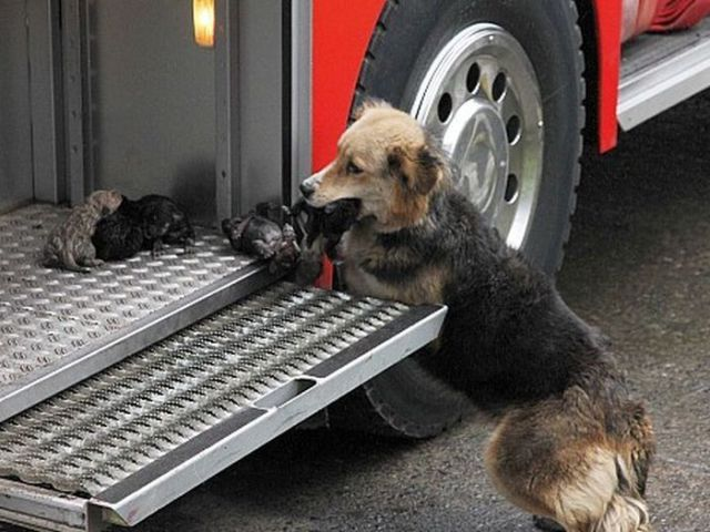 Heroic Dog Saves Her Pups from Burning House