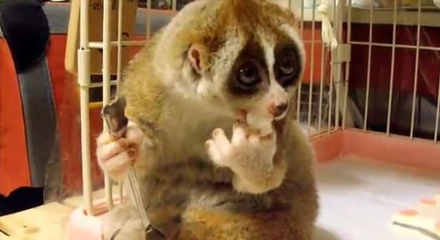 Super Cute Slow Loris Is Eating Rice