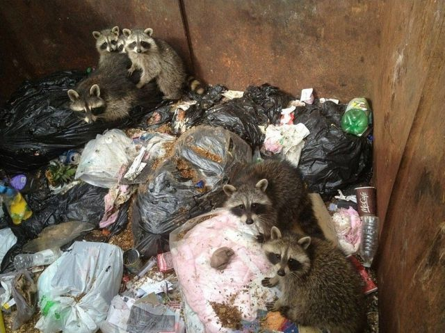 Trapped Raccoons Saved from a Waste Container