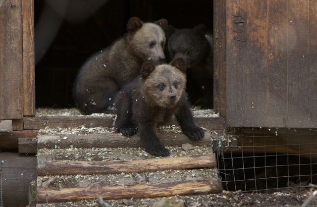 Russian Rescue Center for Bear Cubs