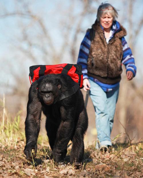 Meet the Fascinating Food Cooking Chimpanzee