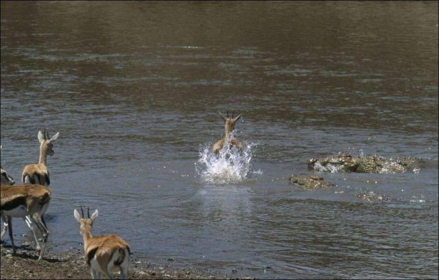 Leap of Faith for a Tiny Gazelle