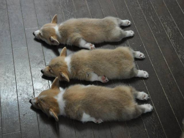 Learn to Count to 6 with Corgis!