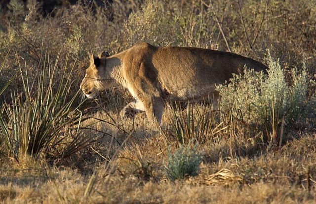 Impala Escapes Right from the Lion's Jaws