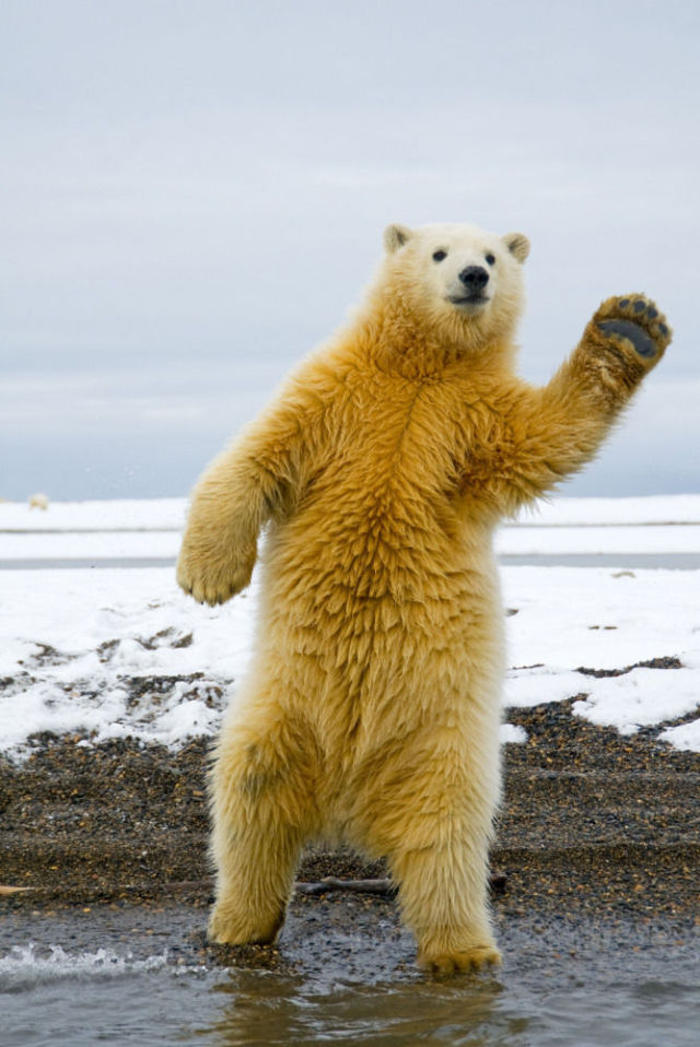 Polar Bear Cub Dances Disco