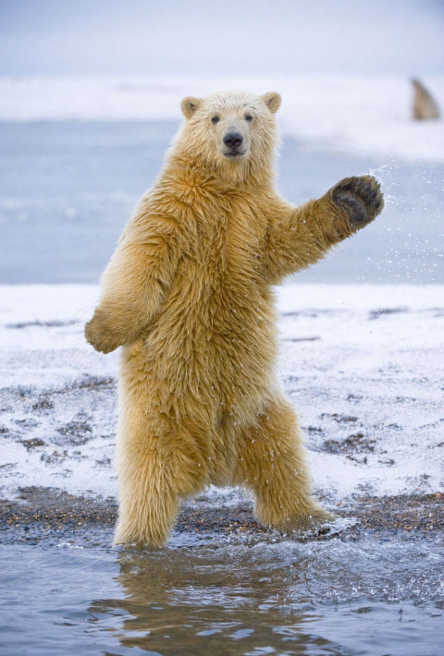 Polite Bear Waves Hello  a waving bear  YouTube