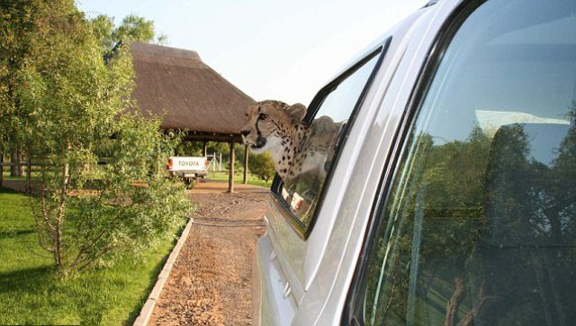South African Family Keeps a Pet Cheetah