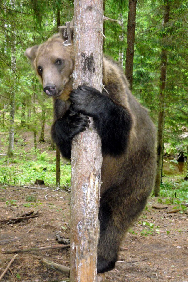 Latvian Woman Raises Wild Bear Cub Alongside Her Children