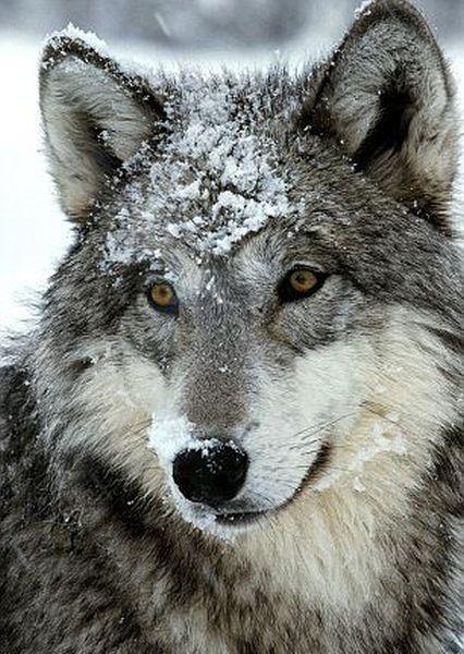 Living Among Wolves
