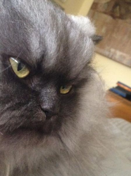 Colonel Meow Might Be the Angriest Cat on Earth