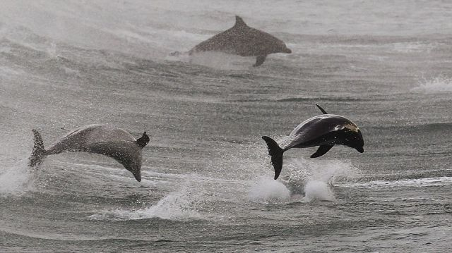 Surfing with Dolphins