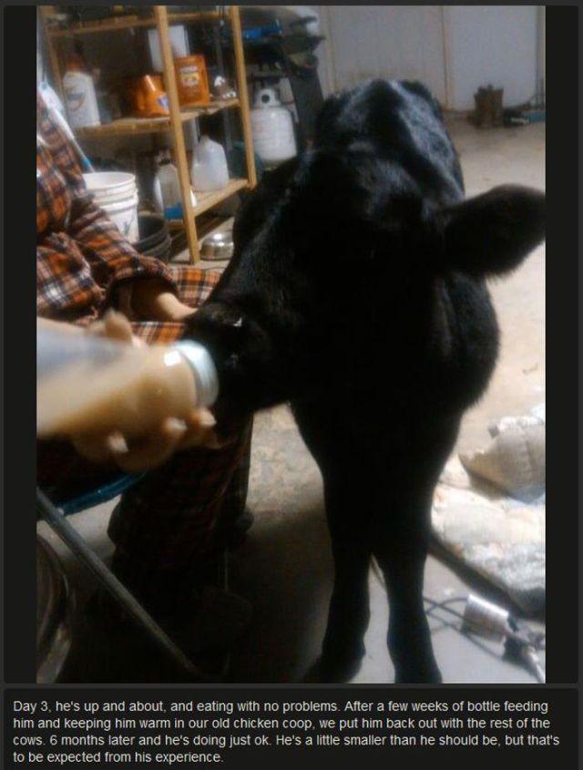 Saving an Abandoned Calf