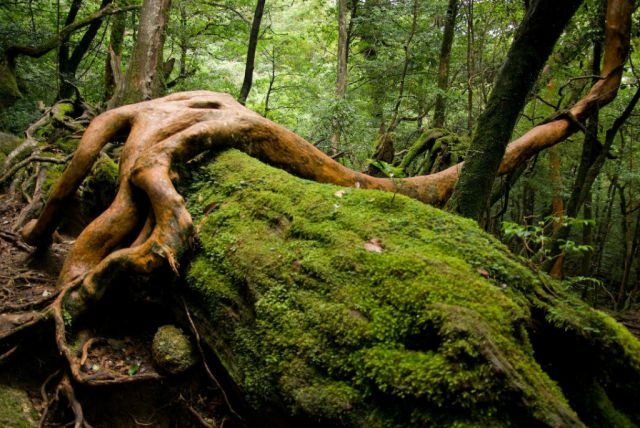 Yakushima Island Forest a Natural Wonder