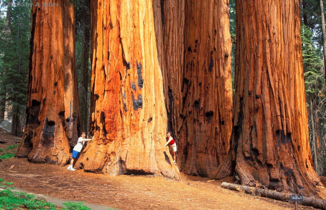 9 Enormous Sequoia Trees Are Hard To Miss