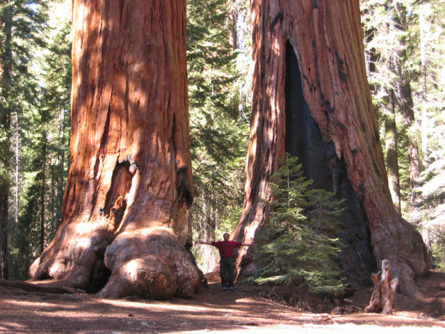 Enormous Sequoia Trees Are Hard to Miss!
