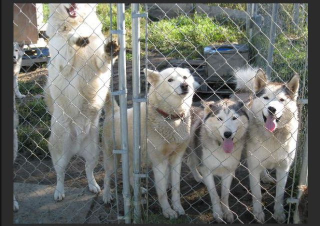 Family Saves 30 Siberian Huskies