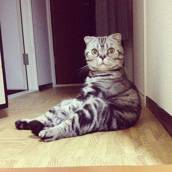 Scottish Fold Cat Has Found Fame on Instagram!