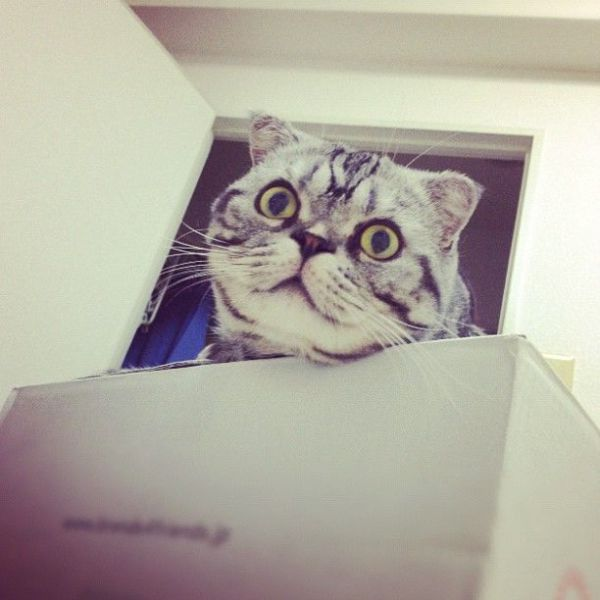 Scottish Fold Cat Has Found Fame on Instagram!