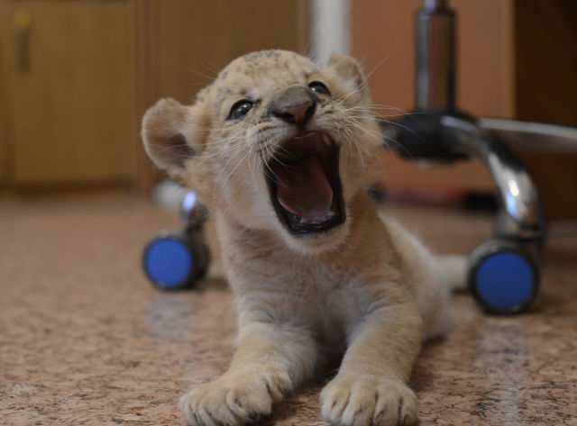 Kiara: The First Born Liliger!