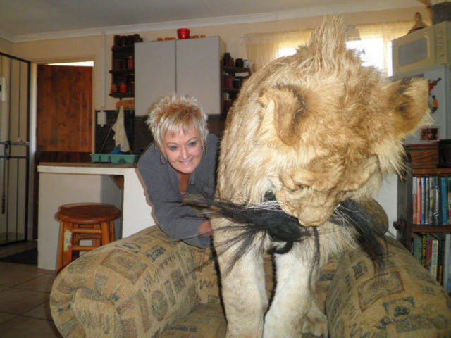 Honey, It's Time to Take the Lion for A Walk!