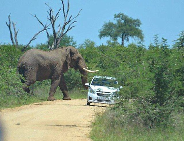 It Seems That This Elephant Doesn't Like Cars