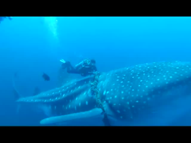 Divers Rescue Whale Shark