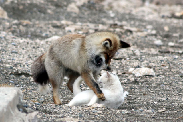 This Cat and Fox are Simply the Best of Friends