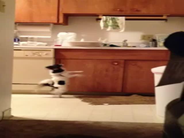 Amazingly Cute Salsa Dancing Chihuahua