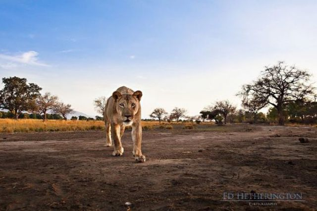 Thieving Lion Steals Camera