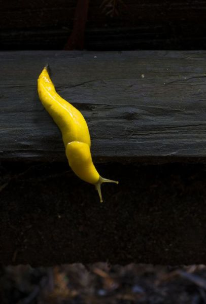 Be Careful That You Don't Mistake This Yellow Creature for a Banana