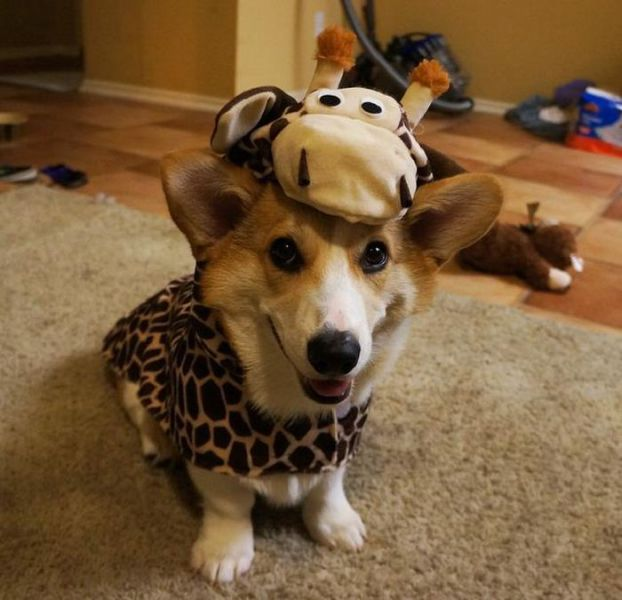Internet's Cutest Corgi: It's Corgnelius