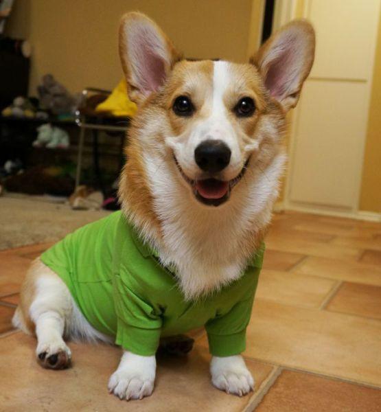 Internet's Cutest Corgi: It's Corgnelius