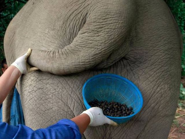 Exclusive and Unusual, Elephant Coffee