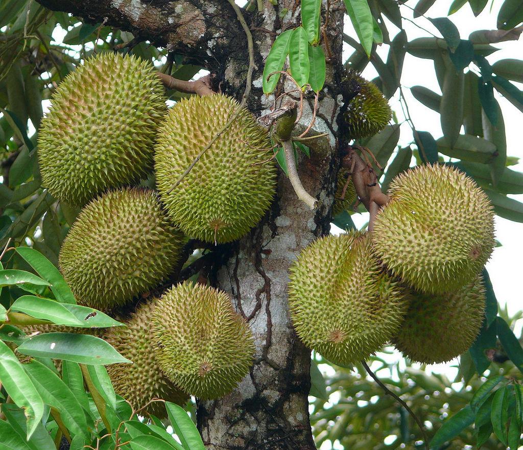 Как и где растут экзотические фрукты (36 фото) .