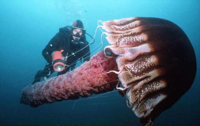 Giant Jellyfish Invade Japan