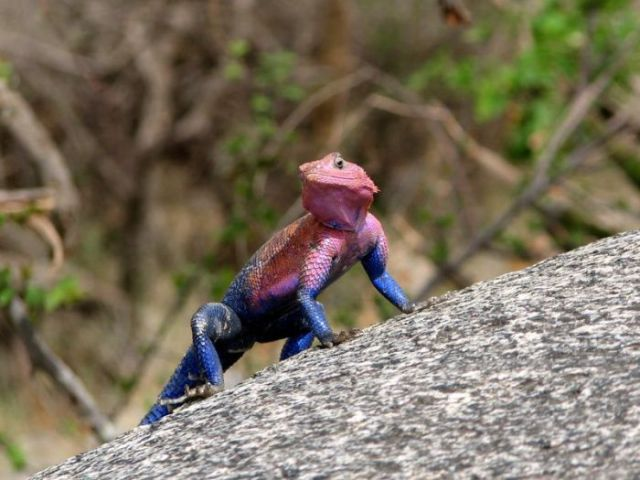 Lizard Spider-Man