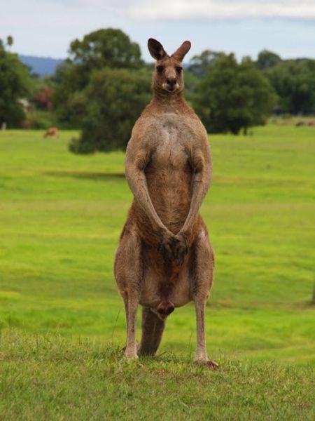 Kangaroos Are Tougher than You