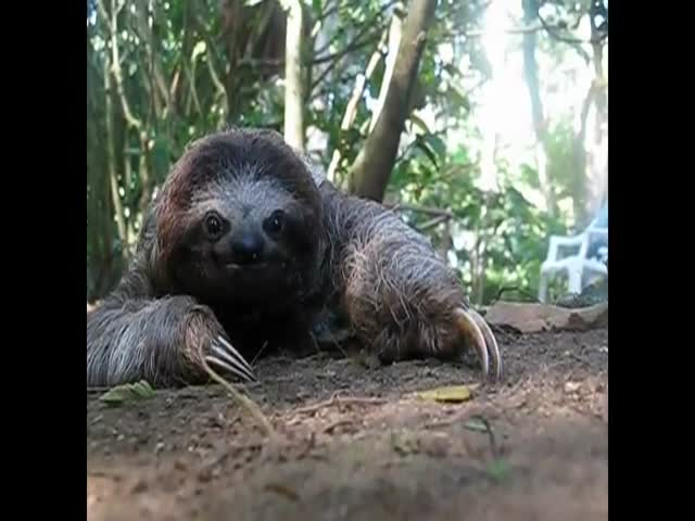 When a Sloth Attacks, You Better 'Walk' for Your Life!