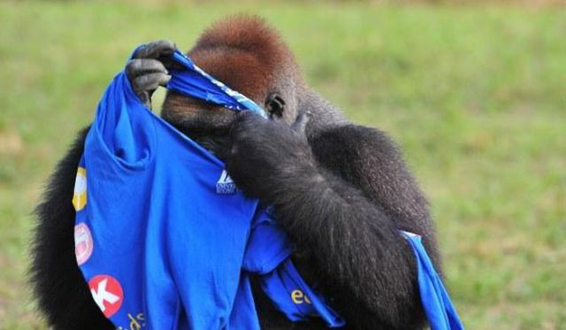 A Gorilla Gets Dressed in a T-Shirt