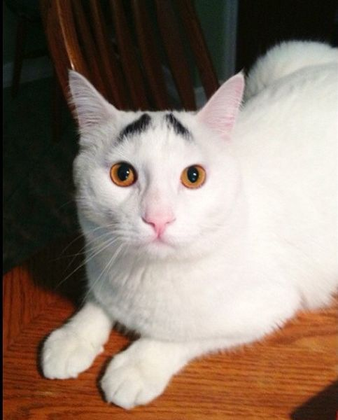 Have You Ever Seen Eyebrows on a Cat?